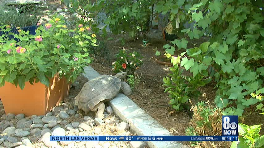 Group looking to adopt out desert tortoises in need of homes_20160824033509
