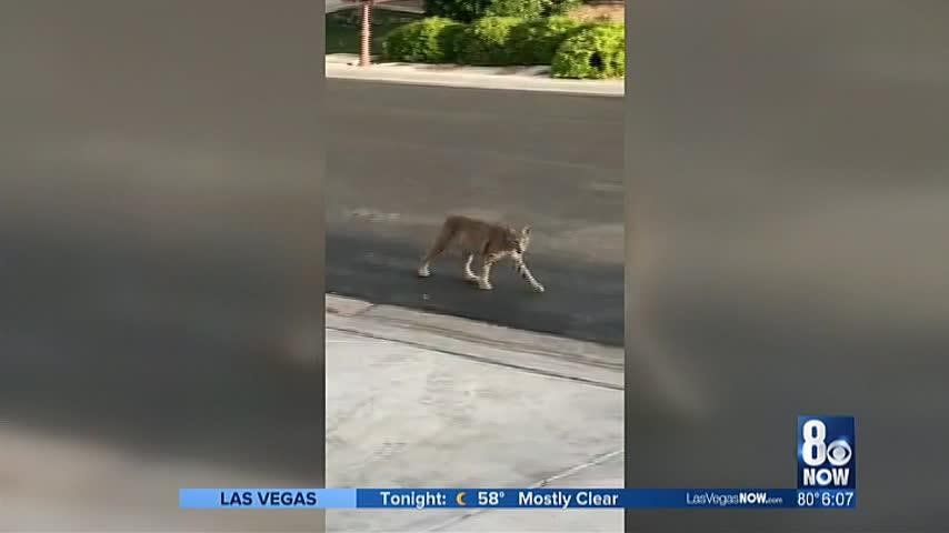 Bobcat spotted in valley neighborhood