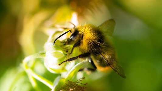 Bumblebees Are Better Problem Solvers Than We Thought_13040526-159532