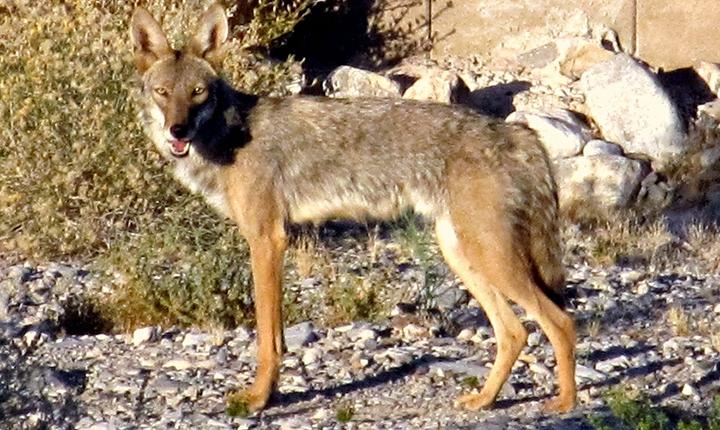 coyote_John_Solvie_1502911628603.jpg