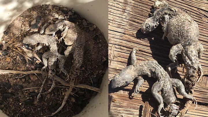 ptifall_traps_killing_mammals_in_Armagosa_Desert_720_1505876856210.jpg