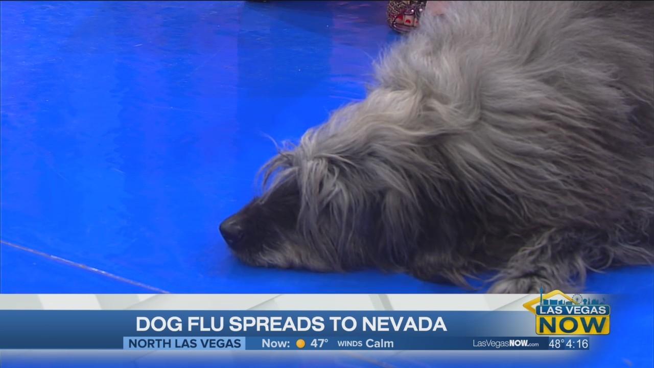 Dog flu spreads to Nevada