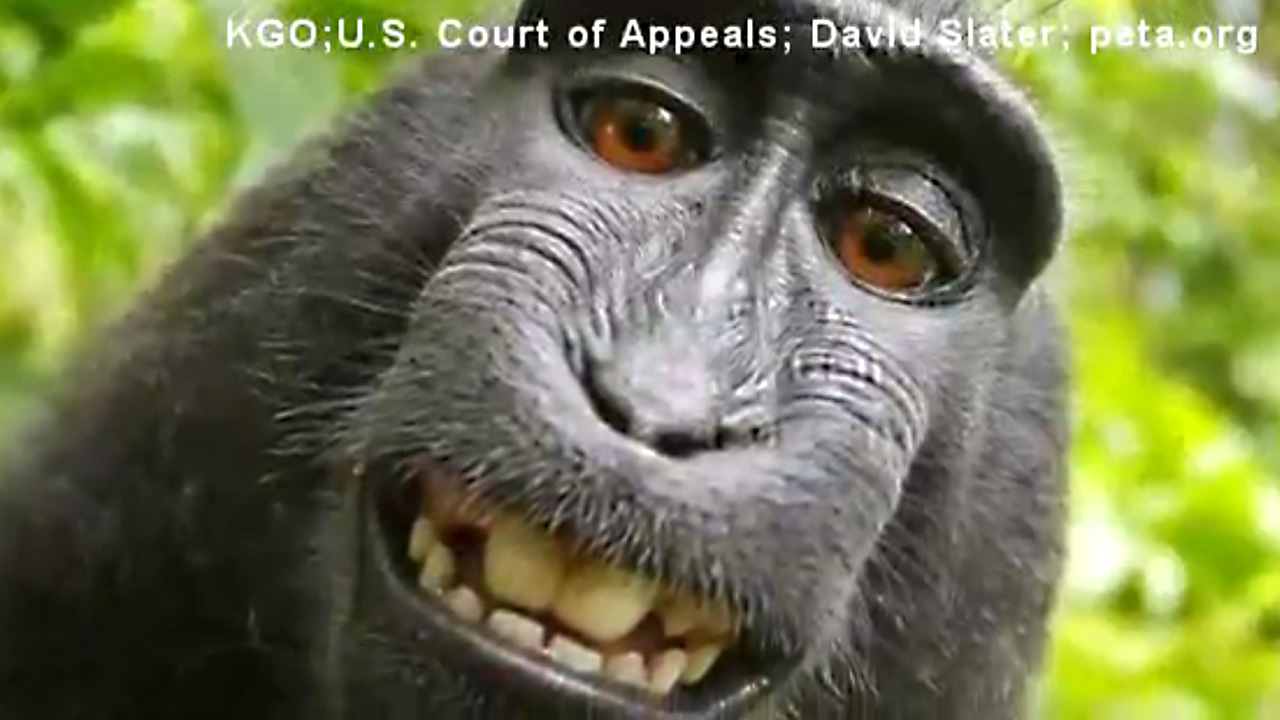 monkey selfie lawsuit33672054-159532