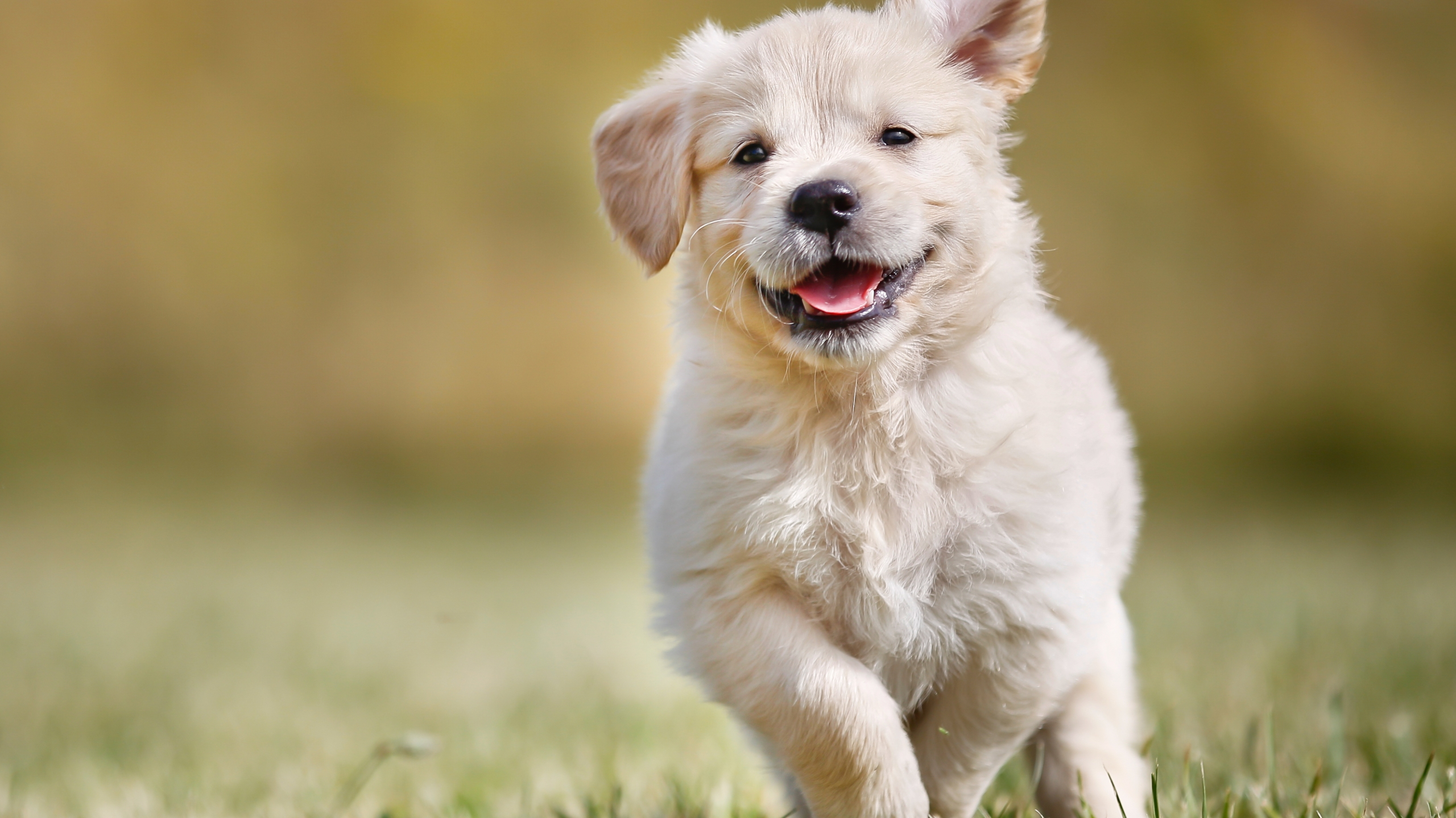 bigstock-Playful-Golden-Retriever-Puppy-70628125_1499102578844_267539_ver1_20170704051004-159532