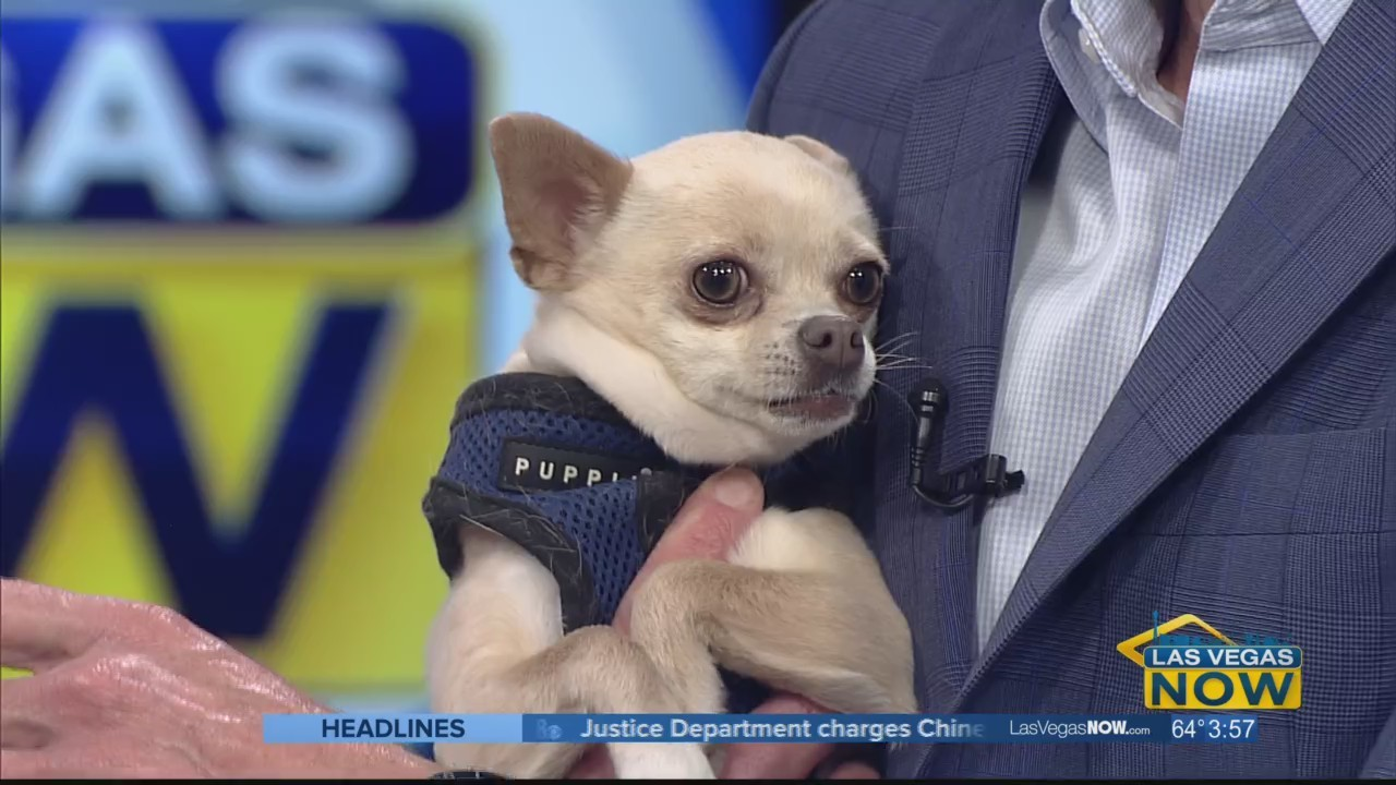 Zoey the Chihuahua picks the winner of the Big Game