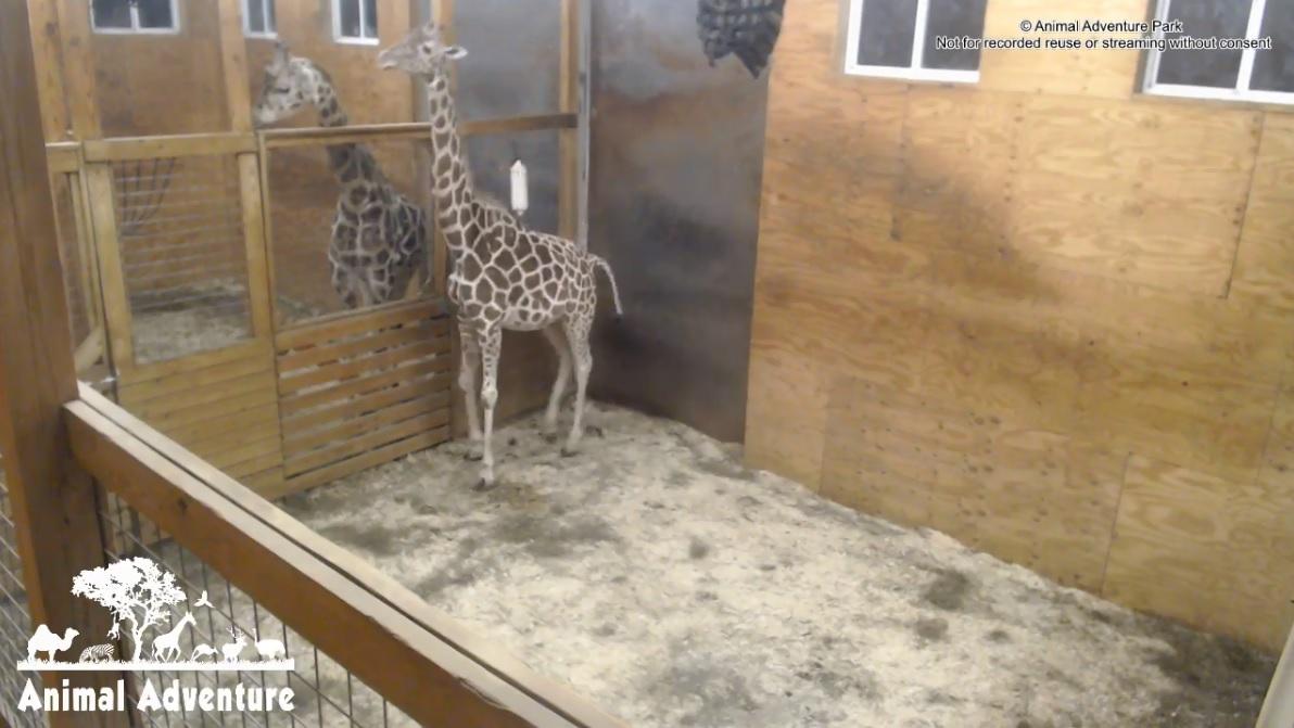 April_the_Giraffe_YouTube_1551312122338.jpg