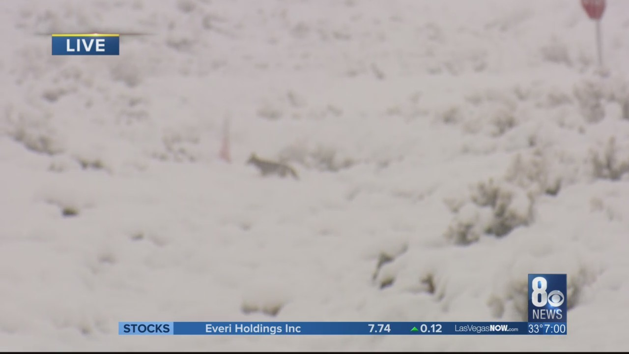 Coyote_runs__plays_in_snow_near_Red_Rock_0_20190221161324
