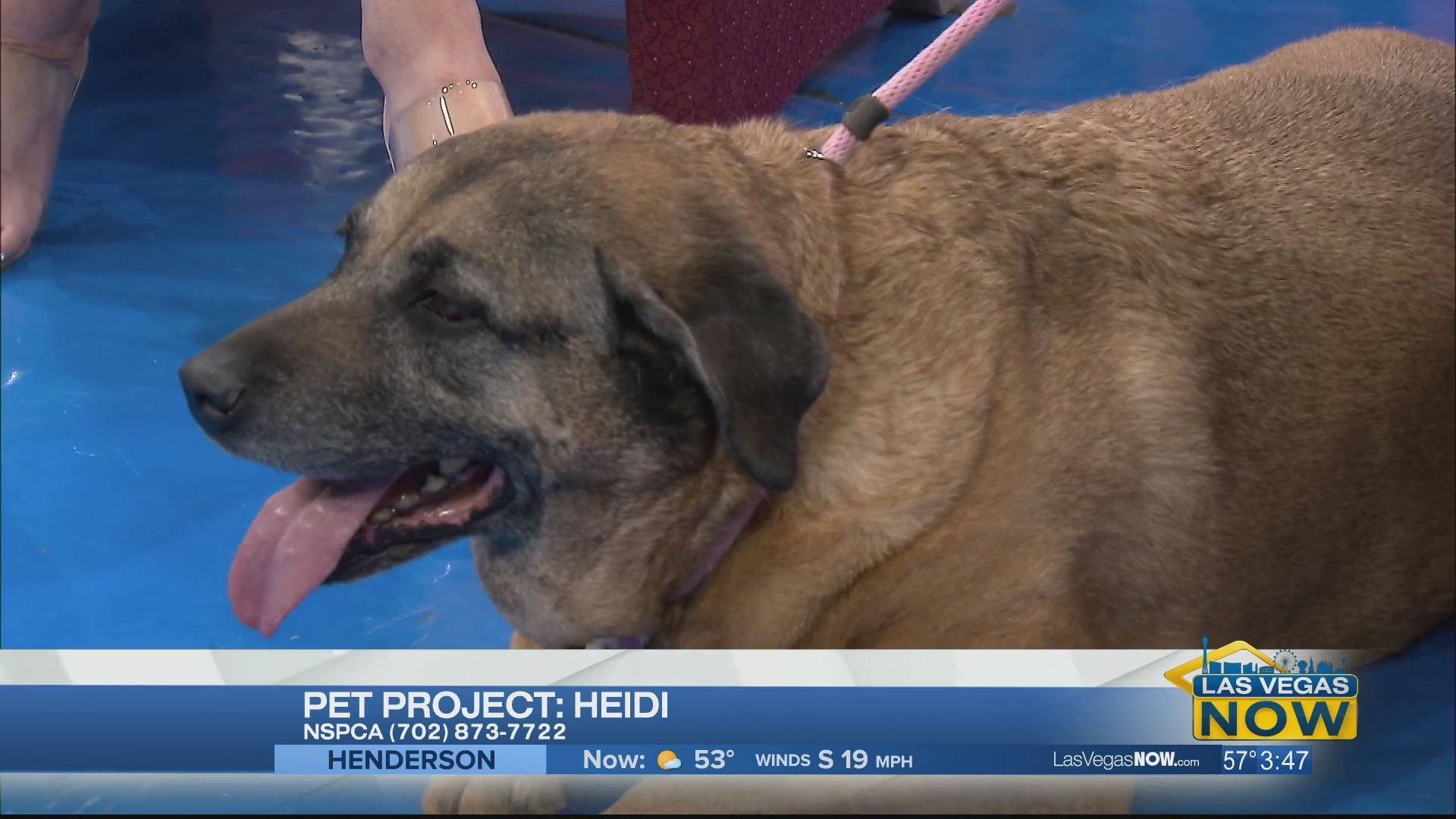 Heidi the dog needs a forever home