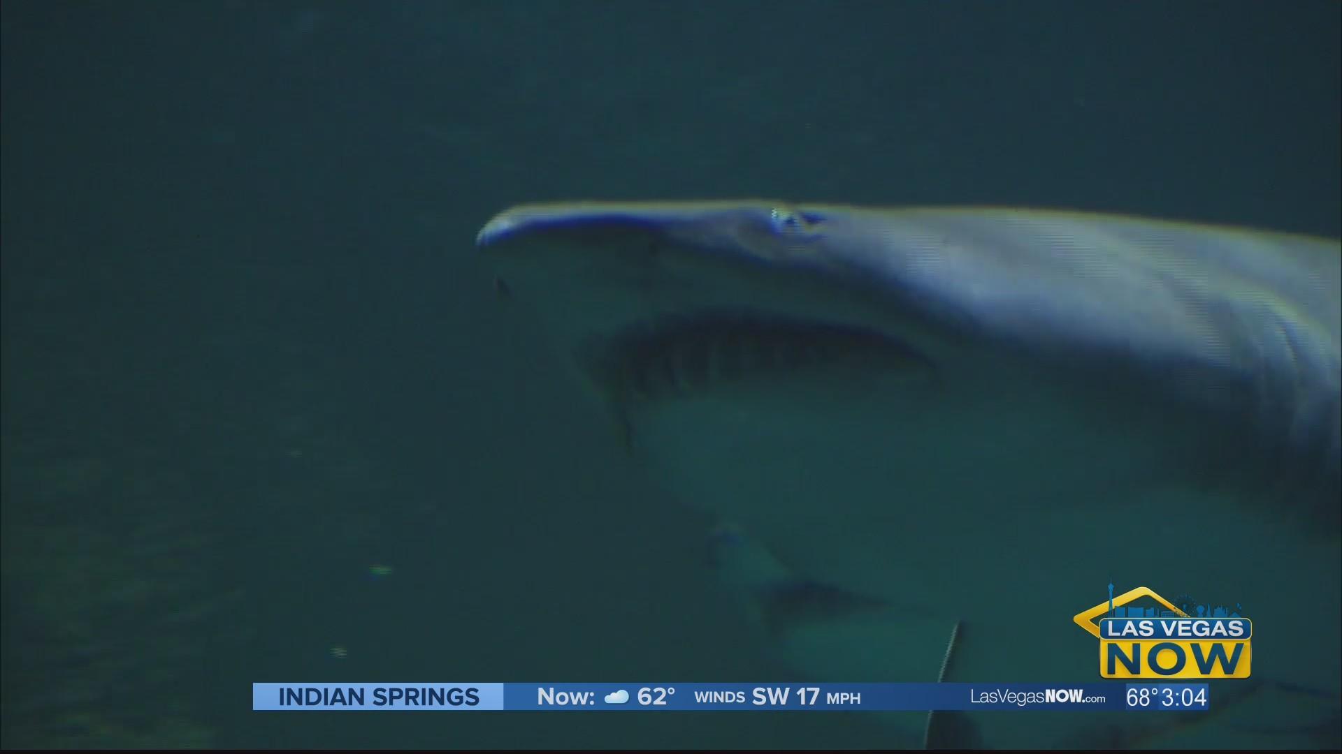 Sink your teeth into the Shark Reef Aquarium
