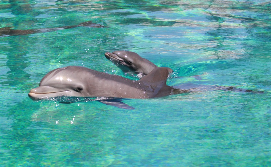 Dolphin calf makes debut at The Mirage