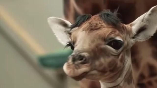 ADORABLE: Baby giraffe born in Belgian zoo