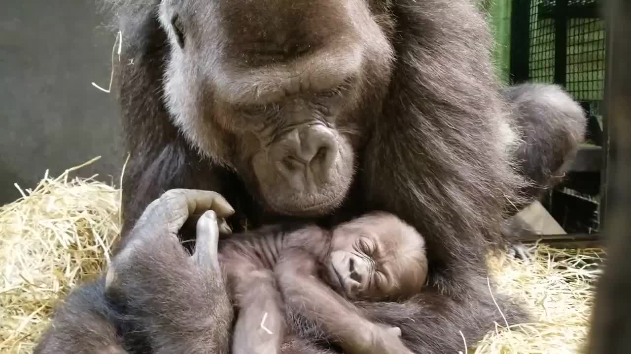 Video of one-month-old baby gorilla shared by the Columbus Zoo and Aquarium